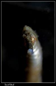Bent stick pipefish, Alcoy, Cebu, 100mm + wetdiopter, sin... by Daniel Strub
