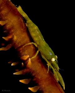 Caribbean Wire Coral Shrimp.  Bloodlet Bonaire Dutch Cari... by John Roach