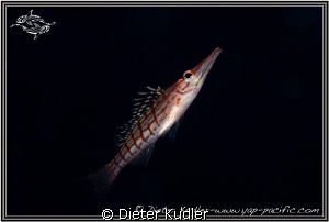 Long Nose Hawk Fish swimming by Dieter Kudler