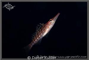 Long Nose Hawk Fish swimming by Dieter Kudler