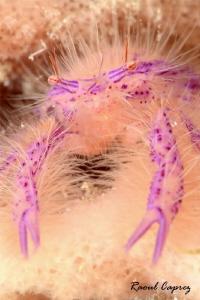 Hairy little one by Raoul Caprez