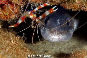 Banded Coral shrimp and Conger eel by Stuart Ganz