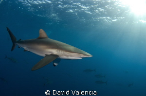 Silky shark and yellow fin tunas in the background. by David Valencia