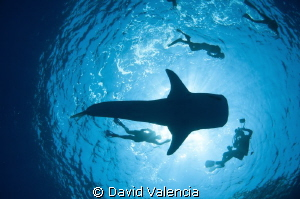 I've seen many silhouette shots with whale sharks, but I ... by David Valencia