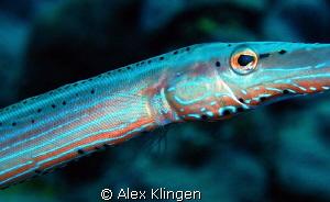 Trumpet eye. Island of Saba. by Alex Klingen