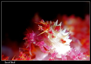 Soft coral crab :-D by Daniel Strub