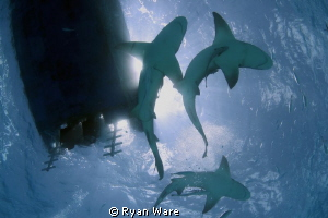 Lemon Sharks at Tiger Beach. Shot with Canon T2i, Tokina ... by Ryan Ware