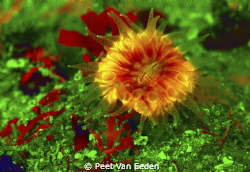 Cup coral excited by UV light by Peet Van Eeden