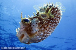 puffer fish by Daniel Flormann