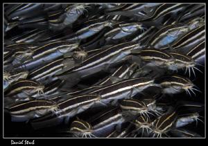 Striped catfish :-D by Daniel Strub