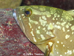 Juvenile Dusky Grouper resting on a rock in the tunnel at... by Dawn Thomas