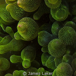 Textures of the Reef. Green Bubble Anemone, close up. by James Laker