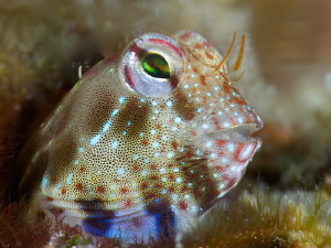 Blenny Portrait taken with +15 diopter by Iyad Suleyman