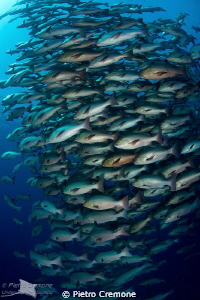 Snappers by Pietro Cremone