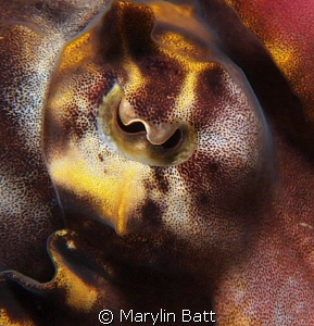 Eye of a Flamboyant Cuttlefish by Marylin Batt