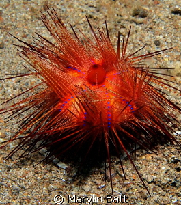 Urchin carry crab , you have to look close to see it's feet. by Marylin Batt