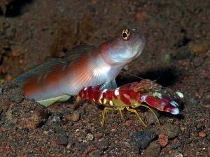 Shrimpgoby and partner shrimp. Tulamben, Bali by Doug Anderson