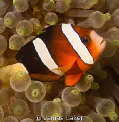 Clownfish in Bubble Anemone by James Laker