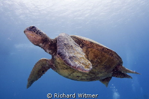 Turtle in Hawaii.  Tokina 10-17. by Richard Witmer