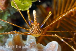 arrow crab is posing by Daniel Flormann