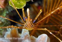 arrow crab is posing by Daniel Flormann