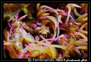 Anemon's crab by Ferdinando Meli