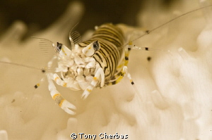 Bumblebee Shrimp by Tony Cherbas