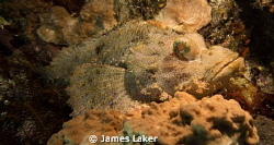 Scorpionfish by James Laker