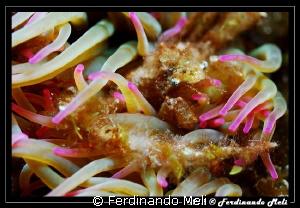 Anemon's crab. by Ferdinando Meli