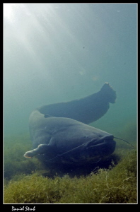 Wels catfish on todays dive w/buddy Sven :-D by Daniel Strub