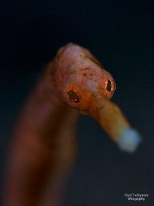 Pipefish Portrait  by Iyad Suleyman