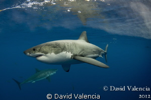 This day we had multiple white sharks around the boat. Th... by David Valencia