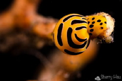 Tiger Egg Cowrie @ Tulamben by Sherry Hsu