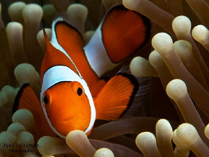 Anemonefish by Iyad Suleyman