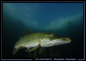 Pike Fish having a rest... ;O)... by Michel Lonfat