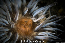 Sea Anemone/ Netherlands. by Philippe Velghe