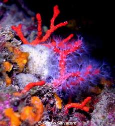 corallo by Scozio Salvatore