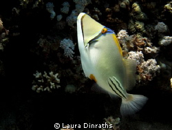 Arabian Picasso triggerfish by Laura Dinraths