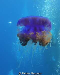 beautiful jelly fish by Helen Hansen