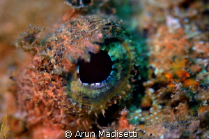 Scorpionfish detail. 
