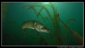 Special Pike Fish upload I by Michel Lonfat