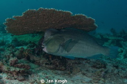 Bumb head parrot fish on clean station by Jan Krogh