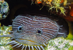 Splendid ToadFish, Cozumel Mexico