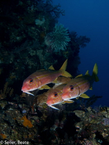 Goatfish at the housereef by Beate Seiler