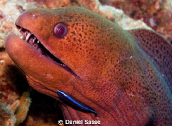 Giant Moray with a Cleaner-Wrasse by Daniel Sasse
