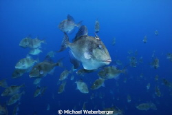 Triggerfish invasion this photo was taken at the free-div... by Michael Weberberger