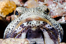 Jaw Fish, La Paz Mexico by Alejandro Topete