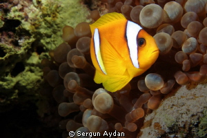 My clown fish by Sergun Aydan