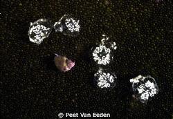 Proud owner of newly laid eggs by Peet Van Eeden