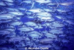 Jacks Group, Isla de Coco Costa Rica Nikonos V, 15 mm, 2... by Alejandro Topete